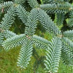 Abies_pinsapo_04_by_Line1