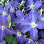 Clematis2a