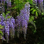 05-wisteria-tree-racemes