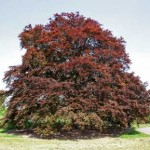 fagus_sylvatica_purpurea_major