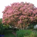"""Lagerstroemia indica"" / Crepe myrtle"